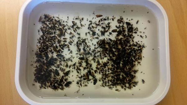 Insekter fra malaisefelle (foto: L.K. Hagenlund)