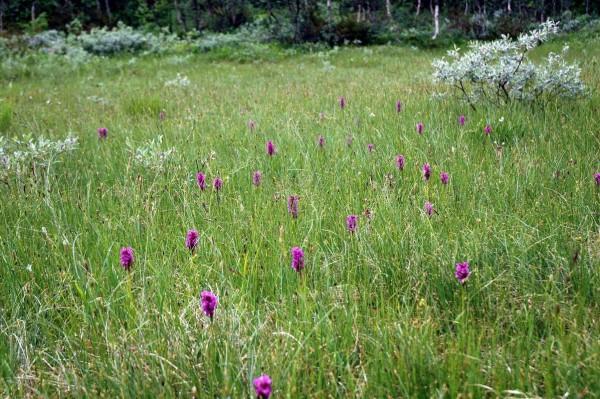 engmarihand- norske-orkideer.no