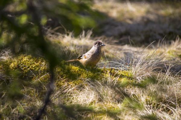 Til frokost fikk vi selskap av en flokk med lavskriker Perisoreus infaustus (foto: L.K. Hagenlund):