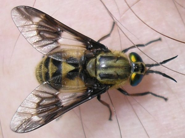 chrysops-relictus-open-domain