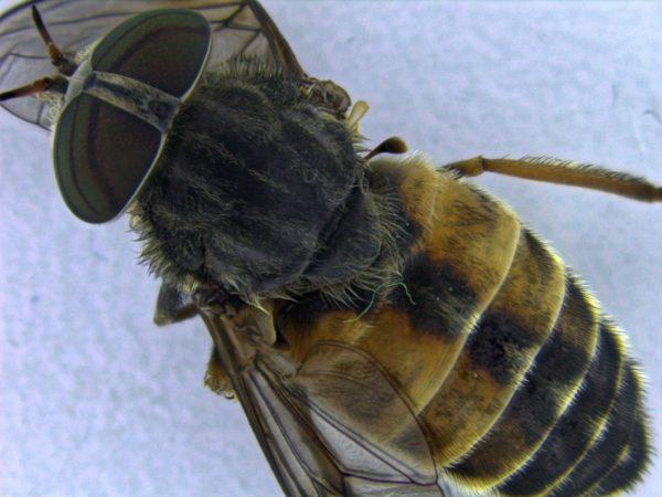 hybomitra-bimaculata
