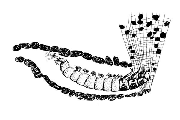 hydropsyche-larve