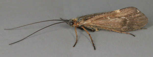 Limnephilus coenosus (foto: Janet Graham)