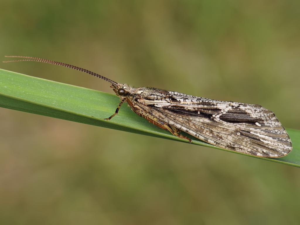 phryganea-grandis-by-ryszard