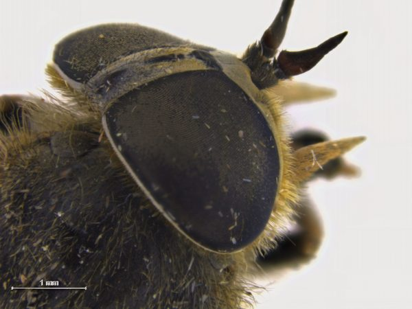 tabanus-maculicornis