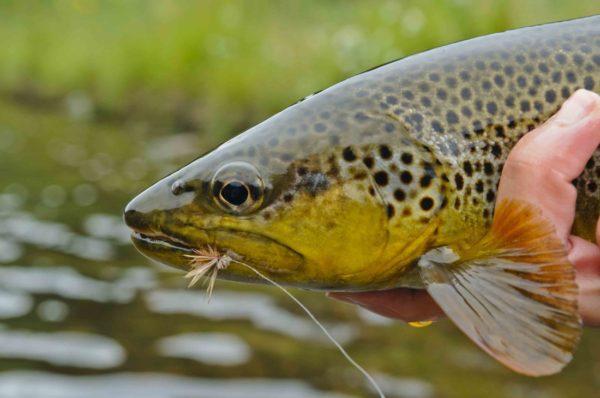 trout-caddis