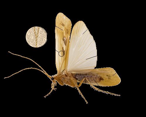 Fig. Generelle kjennetegn hos vårfluer (foto: Hallvard Elven [CC BY 3.0].