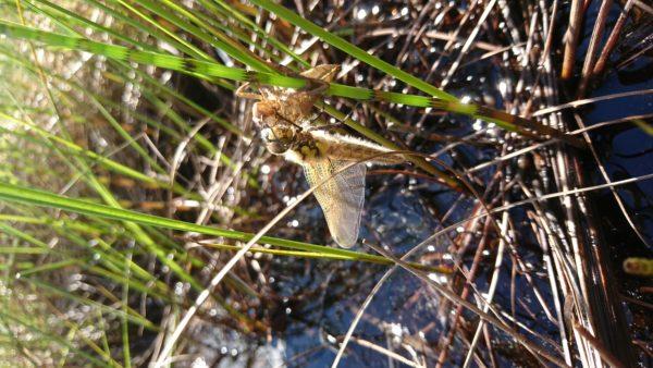 Firflekklibelle (Libellula quadrimaculata) som nettopp har skifta ham (foto: L.K. Hagenlund)