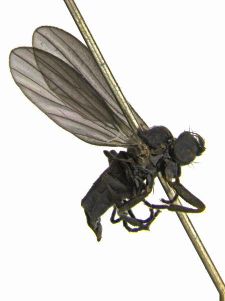 opetia-nigra-female-edit