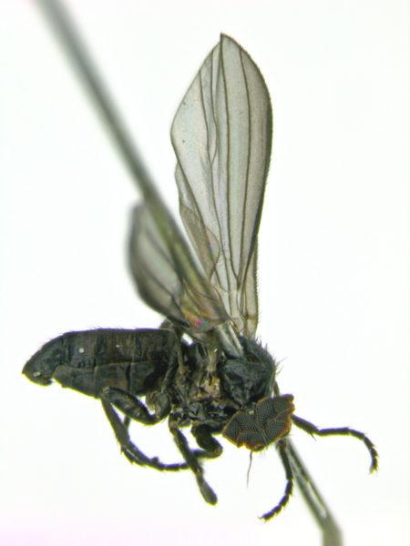 opetia-nigra-male-edit
